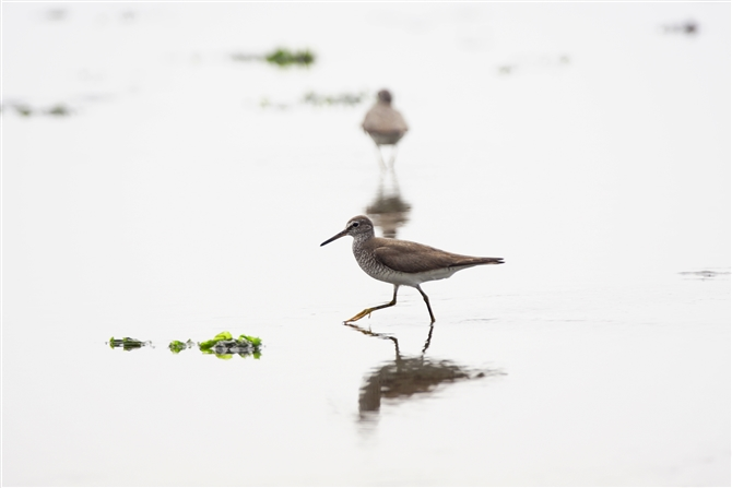 キアシシギ,Grey-tailed Tattler