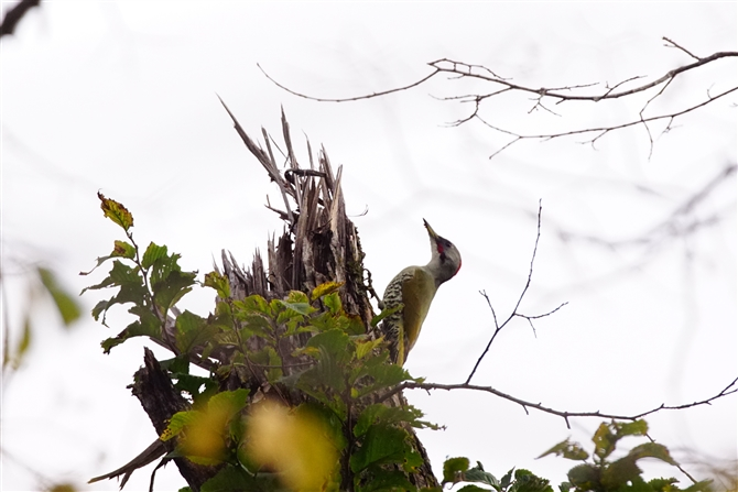 アオゲラ,Japanse Green Woodpecker