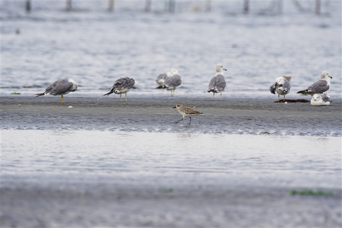 ムナグロ,Pacific Golden Plover