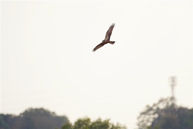 チュウヒ,Eastern Marsh Harrier