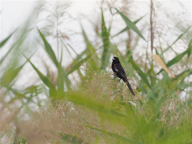ハジロホウオウ,White-winged Widowbird