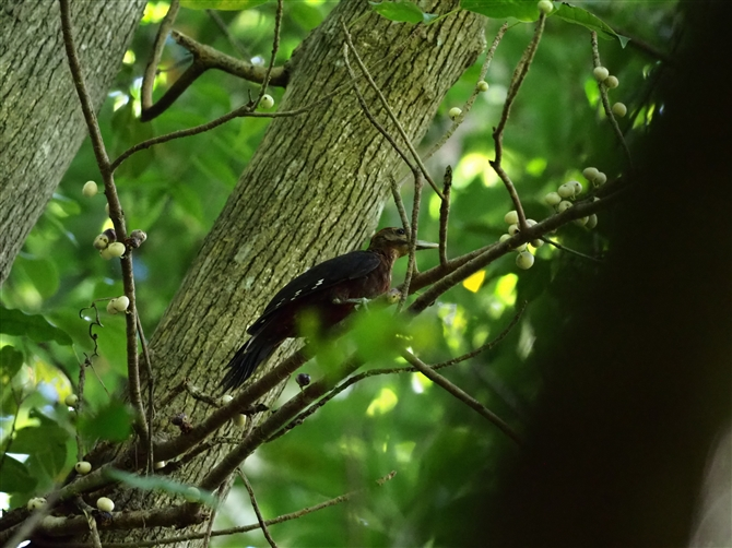 ノグチゲラ,Okinawa Woodpecker