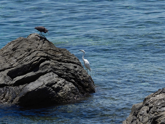 クロサギ,Pacific Reef Heron