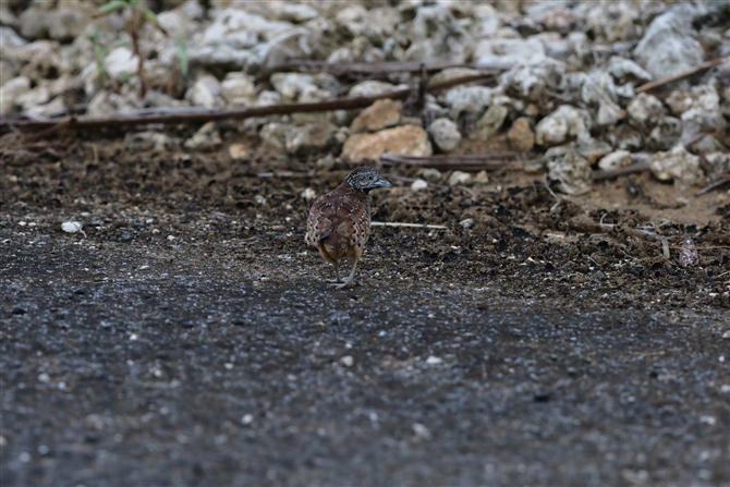 ミフウズラ,Barred Buttonquail