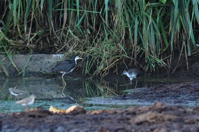 シロハラクイナ,White-brested Waterhen